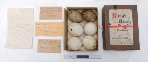 Adélie Penguin and Antarctic Skua eggs from the Horniman Museum