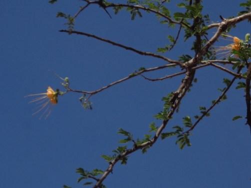 Gorgeous flower of the Delonyx elata in Tsavo East