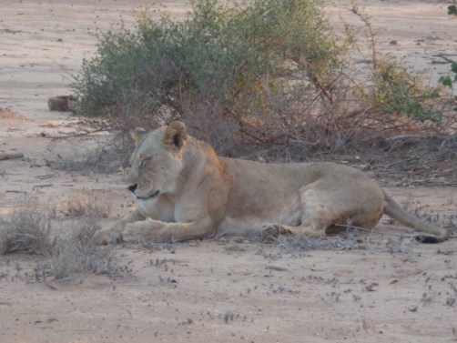 Lioness in Tsavo East National Park