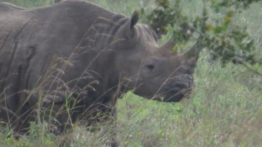 Black rhino in Nairobi National Park