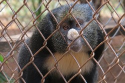 Benin - a lesser spot-nosed monkey rescued from a cage he was being smuggled in - Nairobi Animal Orphanage organized by the Cheetah team - Copyright Maya Mangat