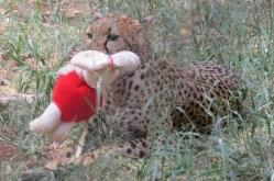 A Cheetah cub at Nairobi Animal Orphanage - Copyright Maya Mangat