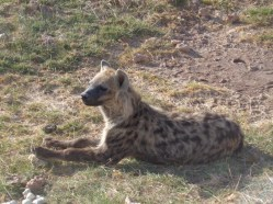 Spotted hyena enjoying morning sun in Amboseli Copyright Rupi Mangat