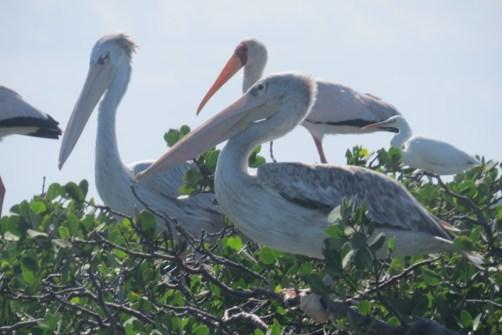 Great bird life - pelicans on a mangrove tree - sailed past them on way to Kiwayu copyright Rupi Mangat
