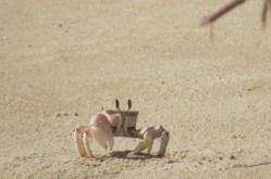 Ghost crabs runing around on the beach at Kiunga Marine National Reserve Copyright Maya Mangat