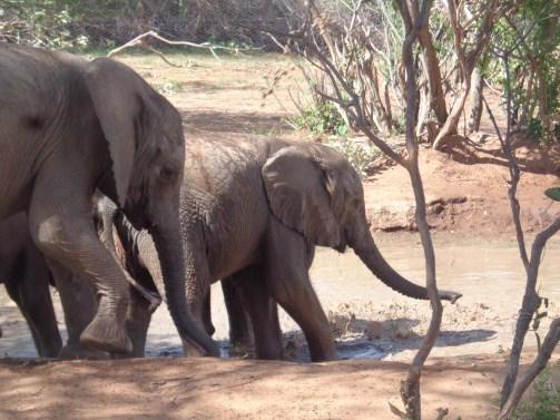 The orphans at Reteti Elephant Sanctuary in Namunyak Conservancy Copyright Rupi Mangat