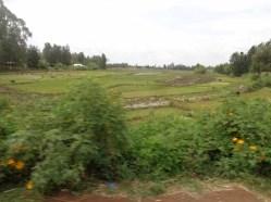 Mwea rice paddies Copyright Rupi Mangat