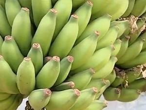 30.11_colheita_banana