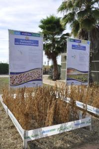 Cultivar de soja BRS 9180IPRO foi lançada na Bahia Farm Show, em Luís Eduardo Magalhães (Foto: Breno Lobato)