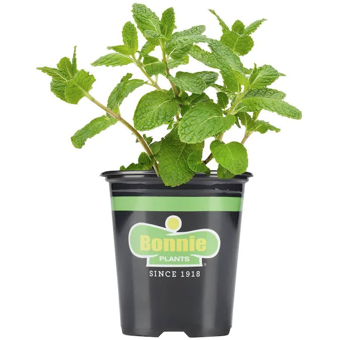 Bonnie Plants – Sweet Mint
