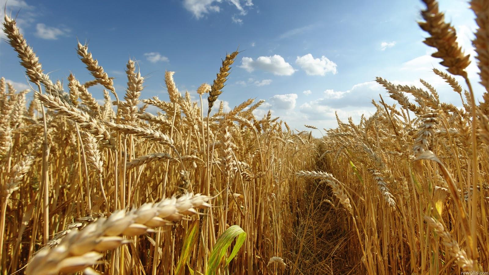 Resultado de imagem para produção de trigo