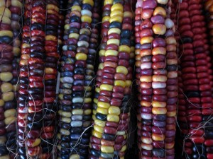 Colorful corn cobs from Working Gloves Farms.