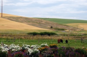 Pollinator plants with cows in background.