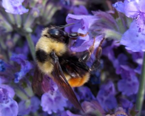 Bumblebee on catmint.