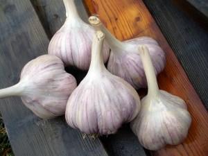 Garlic bulbs sit on boards.
