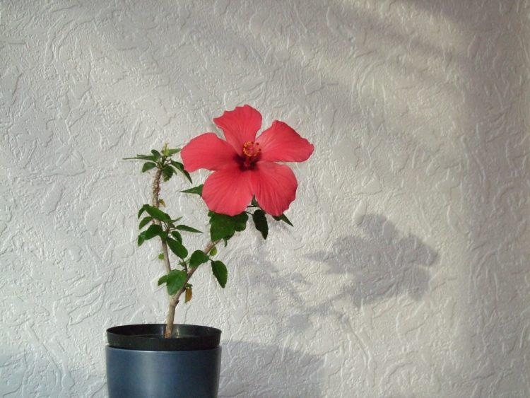Как называется китайская роза по другому