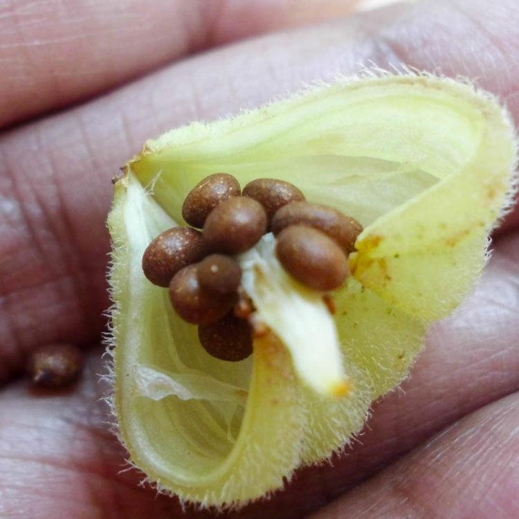 Как выращивать бальзамин из семян в домашних условиях.