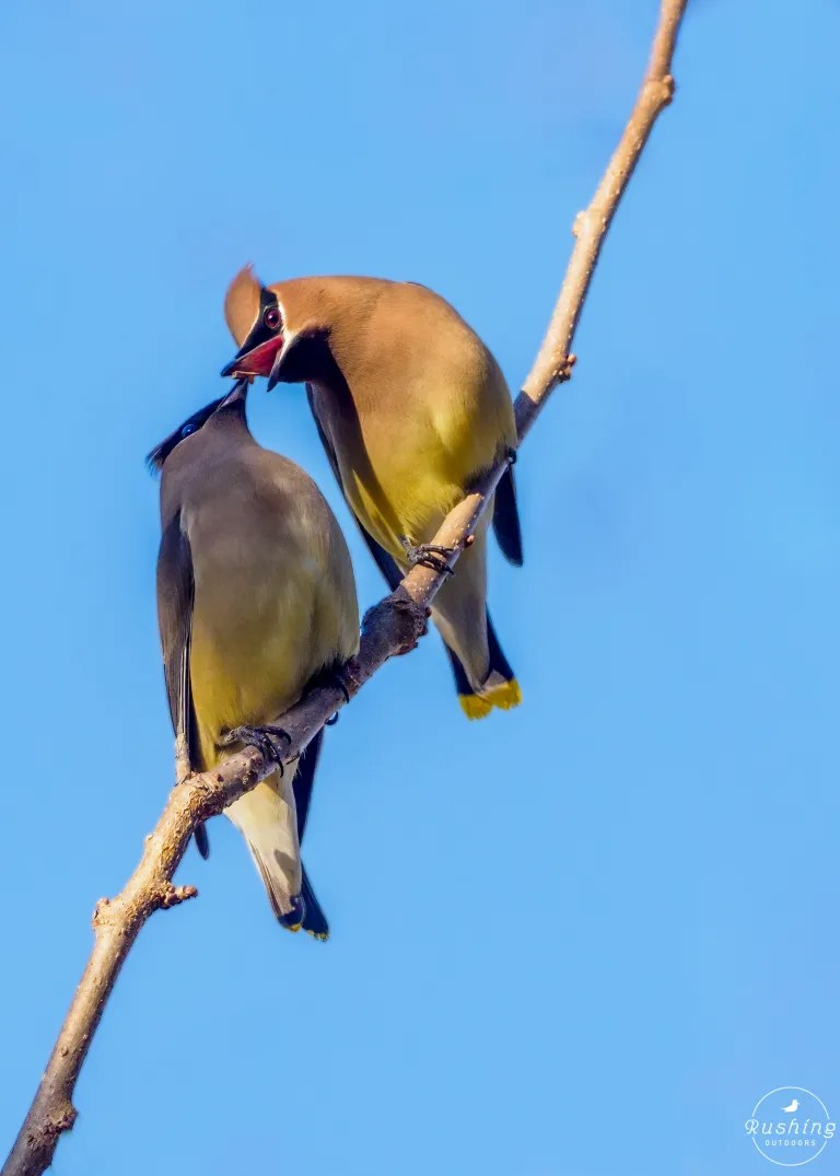 Cedar Waxwing Pair In Intimate Moment Courtship Feeding