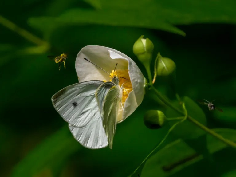 Cabbage White butterfly on mock orange
