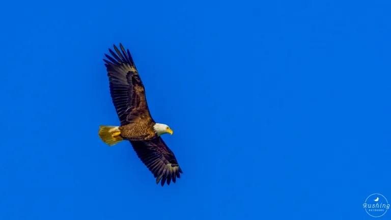 Soaring Bald Eagle against blue sky