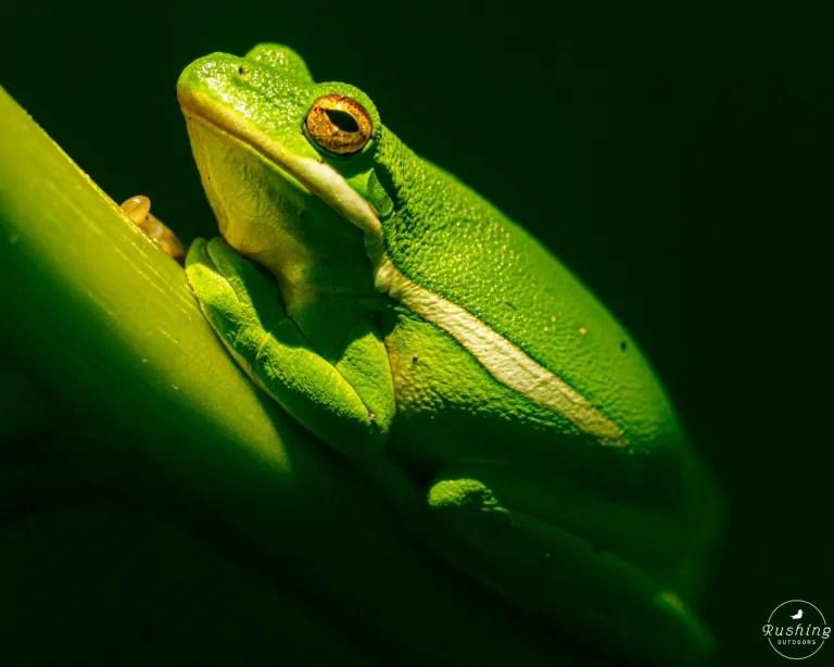 Green Treefrog in sunlight spotlight