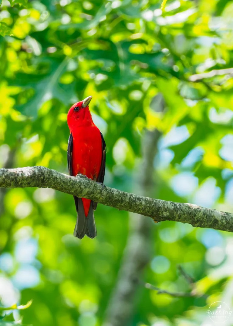 Scarlet Tanager in north georgia
