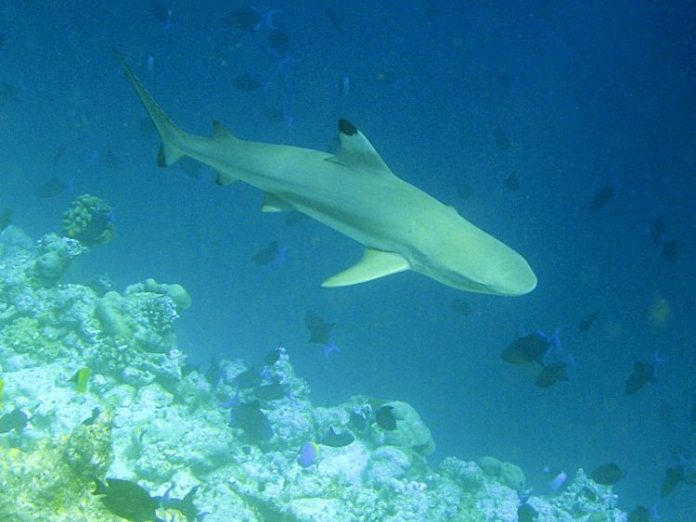 Blacktip Reef Shark in the Caribbean sea