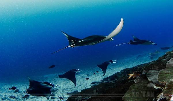 Dive the Addu Atoll, Maldives and find Manta Rays year round