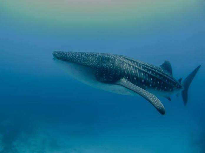 whaleshark maldives 2