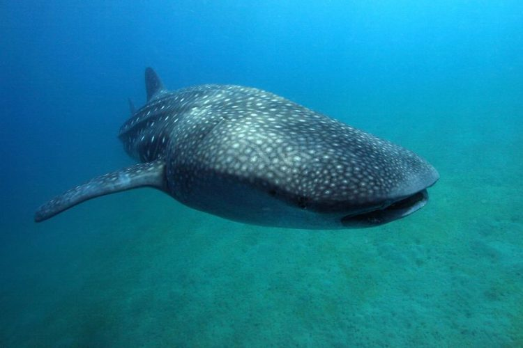 The Whale sharks of Donsol | Where and when to find them?