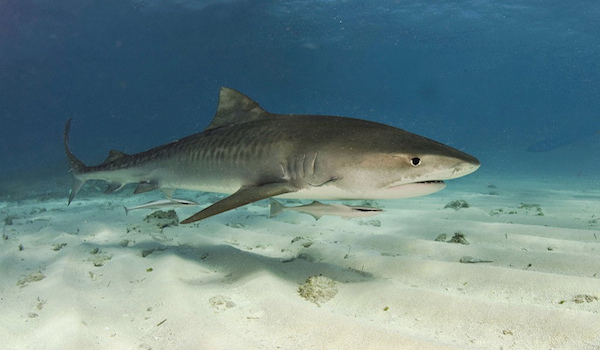 Tigershark_maldives
