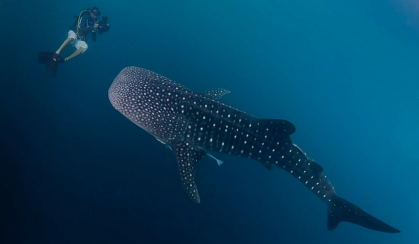 Whale_sharks_belize