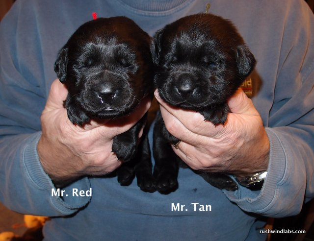 Rushwind Lab Puppies