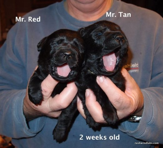 Puppies at 2 weeks