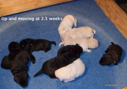 Lab Pups on the Move