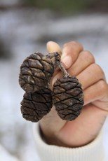 Massive trees from egg-sized cones