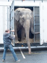 Elephant trainer Anthony Friscia opens the door for Asian elephants, Viola and Isa, after a long drive from Connecticut. They were heading into the Norway Savings Bank Arena in Auburn Monday afternoon in preperation for Tuesday's Garden Bros Circus performances at 4:30 & 7:30 inside the Auburn hockey rink. For more information and a link to purchase tickets, visit: norwaysavingsbankarena.com