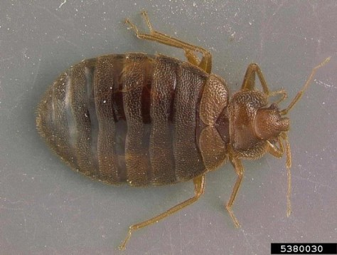 Adult bed bug. Photo Credit: Gary Alpert, Harvard University, Bugwood.org