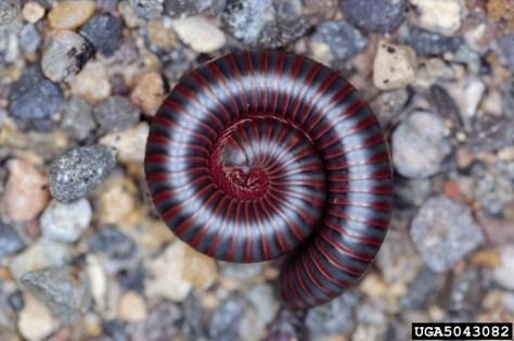 Millipede curled up in a spiral