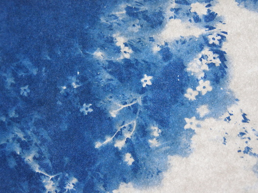 Elderflower/Cyanotype