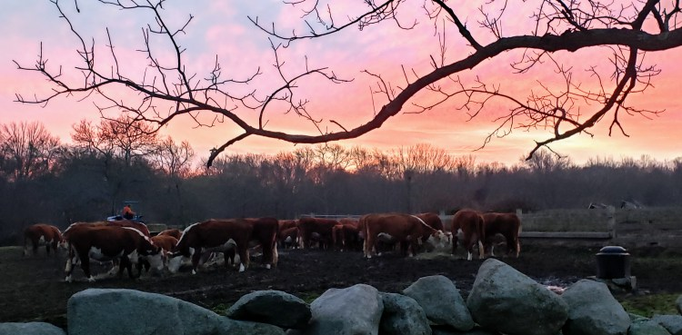 Hereford herd at sunset