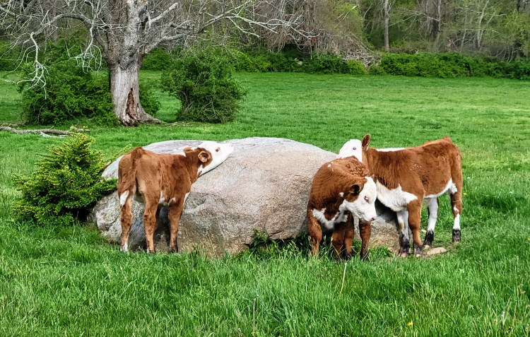 Russet Valley Farm polled Herefords