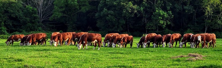 Russet Valley Farm polled Herefords Hopkinton RI August 2021