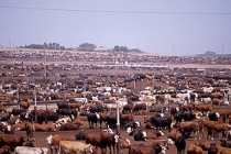 feedlot for cows