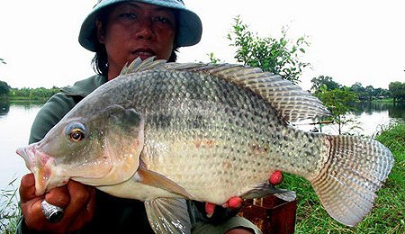 Tilapia to help save wild fish from extinction russ george for Is tilapia fish good for you
