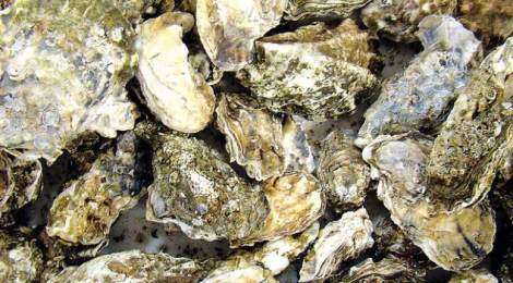 Oysters And Shellfish Dying On North America's West Coast