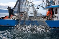 Historic abundance of salmon restored