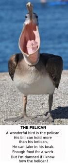 pelican maw