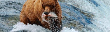 alaska bear with salmon