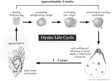 Oyster_early_life1